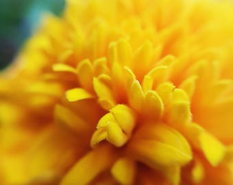 Sunny Day Marigold // Photography // Flower // Nature // Wall Art