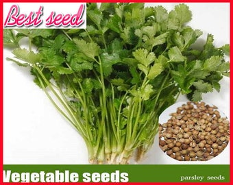 aromatic plant seeds parsley, organic vegetable coriander seeds - 200 particles