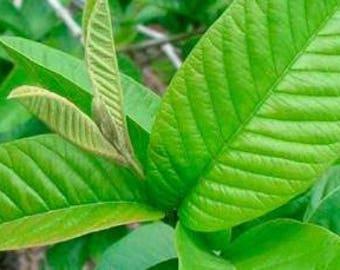 100 Fresh organic guava leaves texas grown high quality Tea