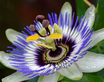 Passionflower Passion in the garden flowers
