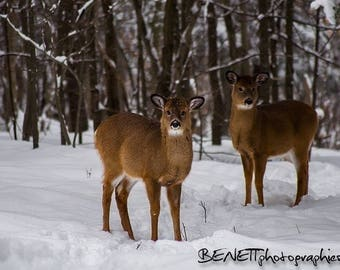 Winter decoration: 2 young deer in snow photography.