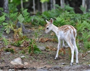 Picture a young deer in forest 20x30cm