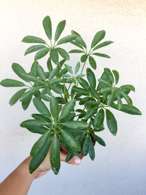 Schefflera Arboricola Beautiful Foliage Dwarf Umbrella Tree