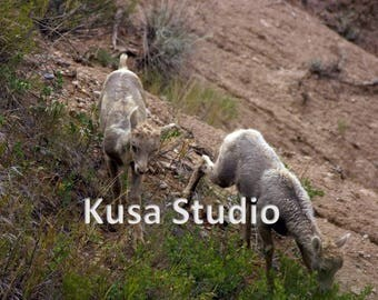 Downloadable Print Baby Bighorn Sheep Photograph