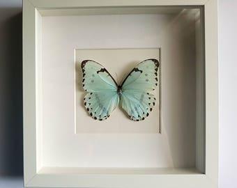 Butterfly in frame - Morpho Catenaria