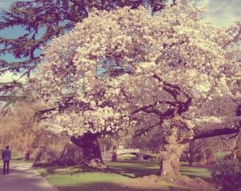 Art Print - Christchurch Botanic Gardens, Spring Blossom Photo