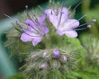 Purple Tansy- Fiddleneck- 250 Seeds
