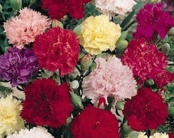 Carnation- Chabaud- Mixed- 50 Seeds