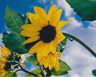 Sunflower on blue sky - framed art piece