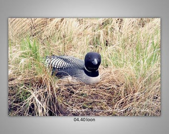 04.40 Loon Limited Edition, Signed and Numbered 8x12 Image