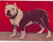 1906 Vintage red pitbull dog photo terrier pit male black and white puppy bull