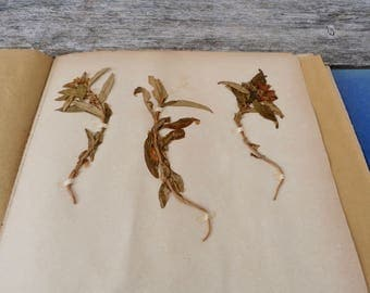 Antique-1887-1889-French-herbarium Gentiana cruciata L