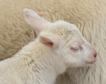 Baby Lamb - Baby Wooly - Mother and Child - Mother's Love - Baby Love - Original Color Photograph by Suzanne MacCrone Rogers