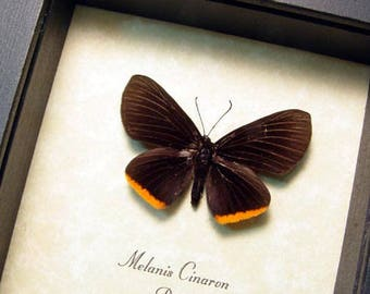 Rare Real Framed Melanis Cinaron Orange-Bordered Pixie Butterfly 8306