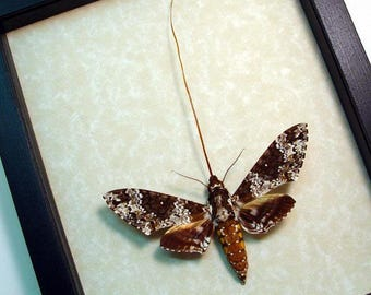 Real Framed Manduca Rustica Large North American Hawk Moth 8474