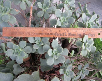 Vintage Wood Advertising Ruler 12 Inch Great Patina