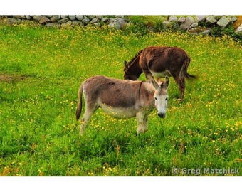 Fine Art Color Photography of Donkeys Grazing in a Field of Yellow Flowers in Connemara Ireland