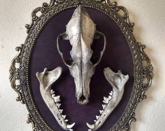 Real Coyote Skull And Jaws Mounted in Vintage Frame