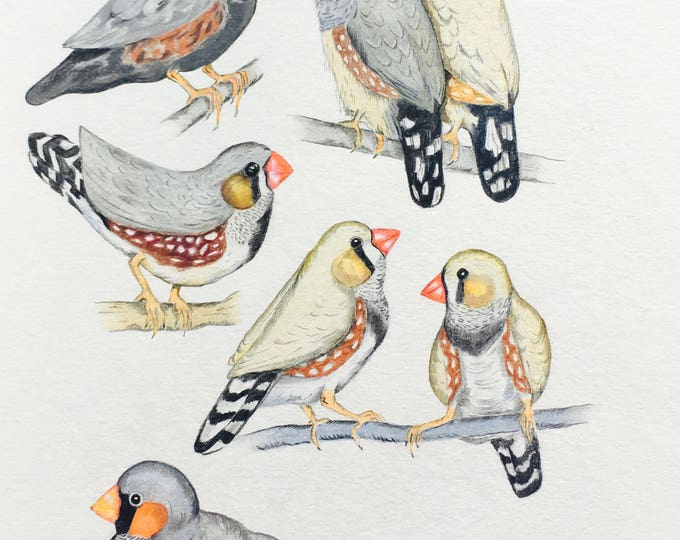 ORIGINAL DRAWING of variety of Zebra Finches, Taeniopygia Guttata, pet birds, Zebra  species, coloured pencils. Certificate of Authenticity.