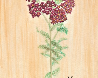 Yarrow Flower Watercolor Painting - Botanical Illustration Art Artwork Wall Hanging Decor Nature Plant Art Print