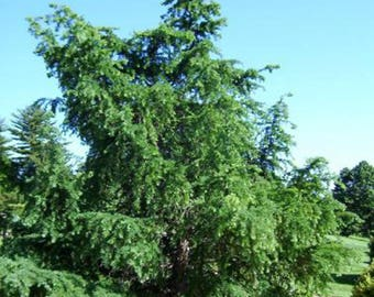 Larch tree etsy 100 japanese larch tree seeds larix leptolepsis sciox Image collections