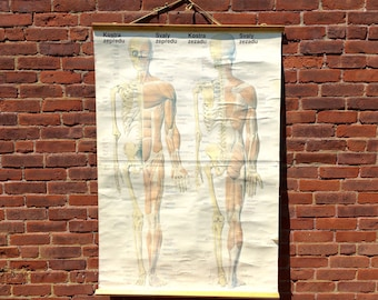 Vintage Skeleton and muscle anatomy chart educational school pull down