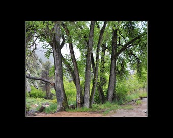 Summer Cottonwood Trees