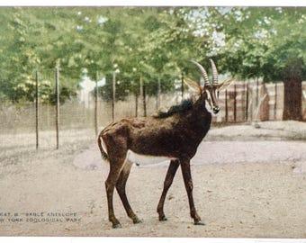 sable antelope New York Zoological Park 1906 unused postcard