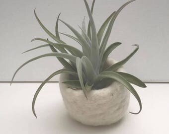 Air Plant in Felted pod