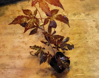 Japanese Maple - Bloodgood Parentage. Size: 5 - 10 inches - 1st year - Wedding Ceremonies - Wedding Favors - Party Favors
