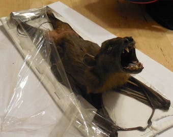 CYNOPTERUS SPHINX  Hanging Back Real Bat Taxidermy
