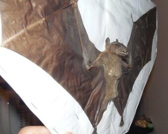 LARGE EONYCTERIS SPELAEA Cave Nectar Real Bat Specimen Taxidermy