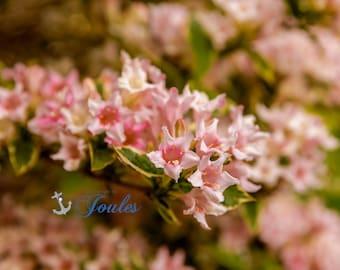 Summers Past ~ Warwick Neck, Rhode Island, Pink, Peach, Print, Photograph, Wall Decor, Interior Home Decor, Floral, Wall Art,Summer