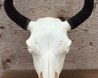 Cow Bison Skull Buffalo Skull Authentic