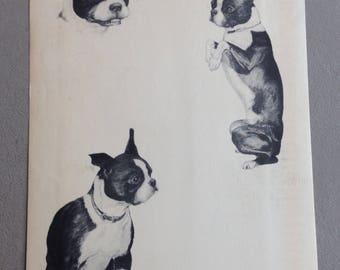Vintage Boston Terrier Print by Marie C. Nichols c.1935