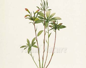 Amaryllis Flower Art Print, Amaryllis Botanical Art Print, Wall Art, Flower Print, Floral, Redoute Art, red, white, green, Amaryllis Vittata