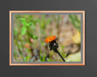 Orange Wildflower Photography - Nature print - Wall Art Home Decor