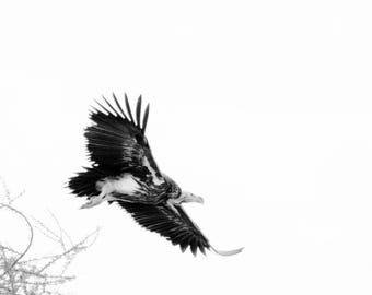 Limited edition fine art wildlife photography print: 'In Flight'