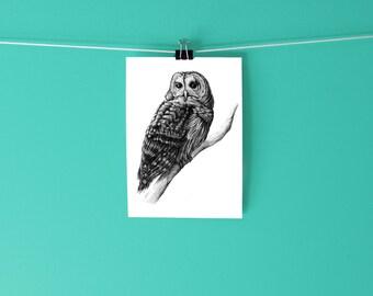 Barred Owl Print  / Scientific Illustration / Drawing