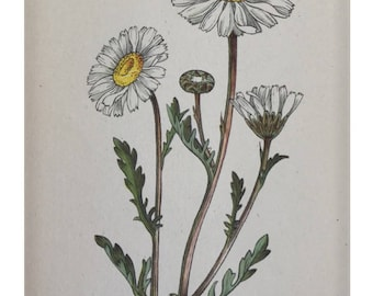 Botanical Print - Flowers of the Meadow - #20 Ox-eye Daisy