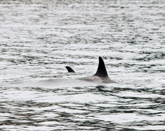 Orca Family - San Juan Island, Washington