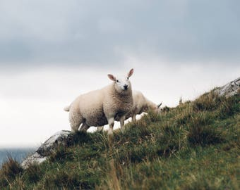 Scottish Highland Print: Jamie the Sheep