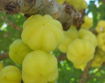 Grosella live fruit tree from Puerto Rico TAHITIAN GOOSEBERRY Phyllanthus acid tree 100% organic urban organically grown