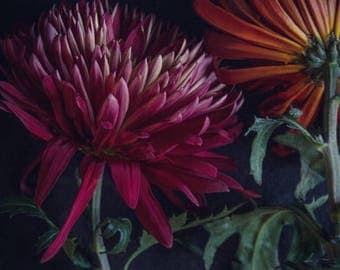 Low Light; fine art photography, modern, wall art, floral photography, dark, floral, art, photo, botanical, mums, noir, by F2images