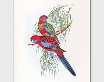 Parakeet Wall Art (Red Room Decor, Vintage Budgies, Tropical Office Bird Print) --- 19th Century John Gould Artwork