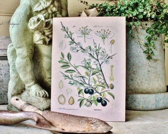 Vintage Olive Print Botanical Wood Sign Natural History Book Page Wall Art Print Farmhouse Decor Naturalist Fixer Upper Decor Garden Sign