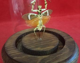 LG Jeweled Flower Mantis Creobroter gemmatus Male Spread dome disply-entomology