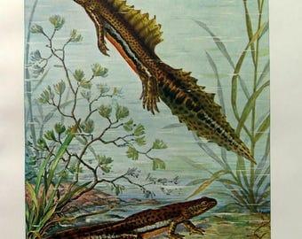 Rare antique amphibians print, 1920 vintage original TRITURUS newts engraving, salamanders plate illustration.