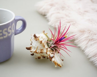 Air Plant Wedding Favours | 50 Pieces | Air Plant with Seashell | Tillandsia Design