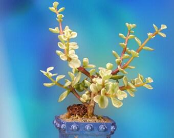 Miniature Jade Bonsai in a Handmade Bonsai Bowl